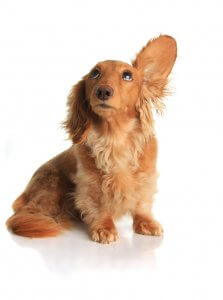 dachshund dog listening